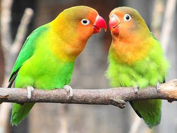 Cara seting tempep Lovebird