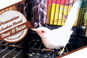 Murai Batu Albino, Burung Langka dengan Harga Fantastis!