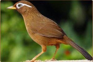 5 Burung Kicau Favorit Di Singapura Yang Perlu Anda Ketahui