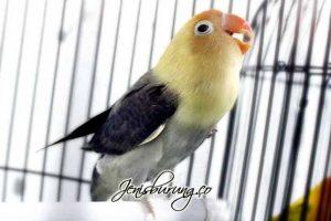 5 Cara Menaikan Birahi Lovebird Jantan Dengan Cepat & Aman