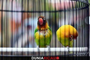 4 Setingan Lovebird Betina Dewasa Agar Gacor dan Ngekek Panjang