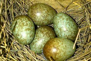 Murai Sering Membuang Telur? Ini Penyebab dan Cara Mengatasinya!