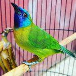 Download suara burung kinoi untuk masteran
