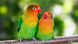 Cara membedakan lovebird jantan dan betina paling akurat