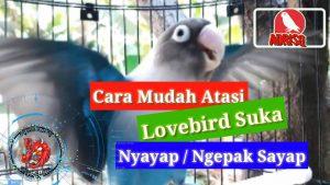 Cara mengatasi lovebird ngekek ngepak sayap