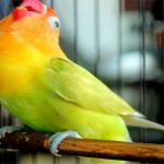 Rahasia mencetak lovebird ngekek panjang hingga menitan