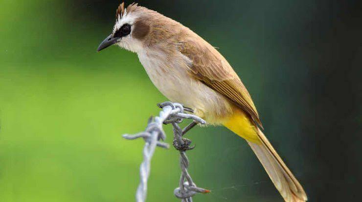 Download suara burung trucuk ropel untuk pancingan