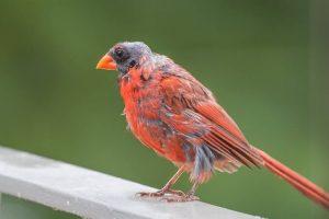 Cara mengatasi burung gagal mabung