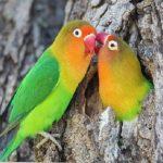 penyakit lovebird