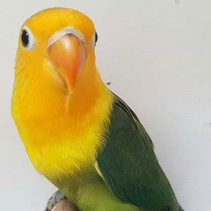 cara cetak lovebird australian yellow face