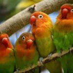 cara mengatasi lovebird emosi