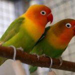 manfaat batu bata merah untuk lovebird