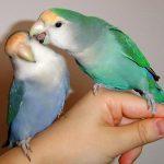 pakan lovebird agar cepat kawin