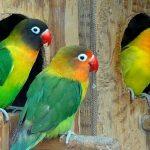 perbedaan lovebird trah dan prospek