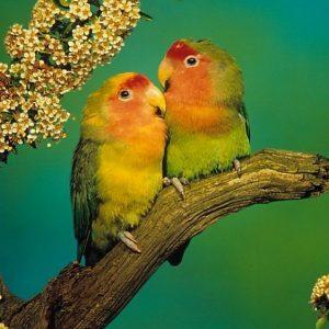 rahasia lovebird ngekek panjang