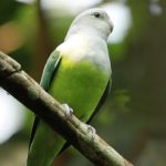 jenis lovebird tercantik di dunia