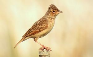 suara burung branjangan