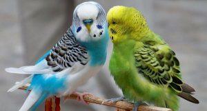 suara burung parkit