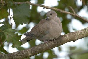 suara burung puter