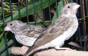 suara burung sanger