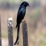 suara burung srigunting