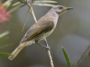 suara burung cucak kombo