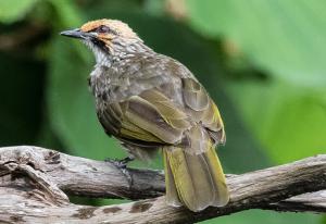 suara burung cucak rowo ropel