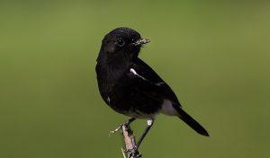 suara burung decu