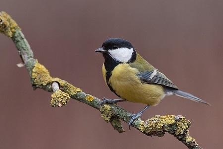 Kumpulan Suara Burung Gelatik Batu Tajam Full Isian Mp3 Pamankicau