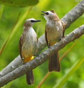 suara burung jogjog