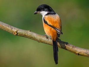 suara burung pentet