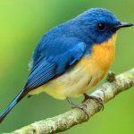 suara burung anis binbin