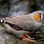 suara burung finch