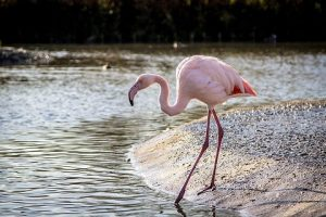 suara burung flamingo