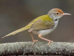 suara burung prenjak lumut