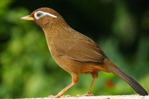 suara burung wambi
