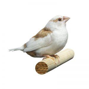 kicauan burung emprit jepang