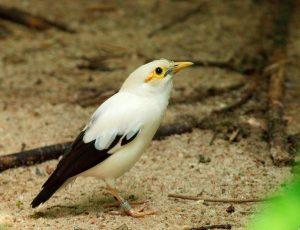 suara burung jalak putih