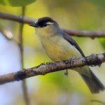 suara burung opior jambul