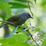 suara burung opior jawa
