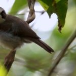 suara burung opior paruh tebal