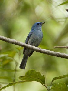 kicauan burung seledang biru