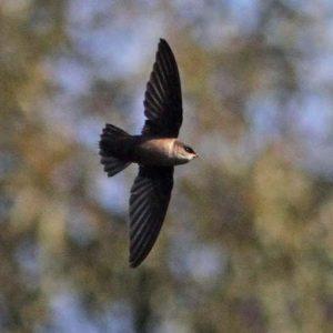 kicauan burung walet pemanggil