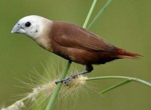 suara burung emprit kaji
