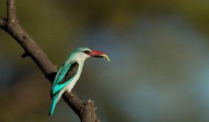 suara burung raja udang