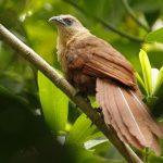 suara burung bubut sulawesi