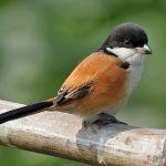 suara burung cendet madura