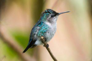 suara burung kolibri lebah
