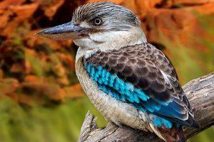 suara burung kukabura
