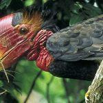 suara burung rangkong gading